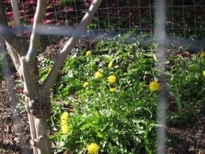 Have fruit trees? Grow dandelions underneath! They fix nitrogen in the soil.