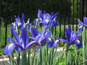 "Not an ""S,"" but I came home to the irises in bloom  and wanted to share!"