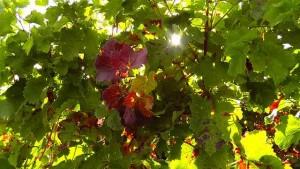 wine-leaf-77391_640