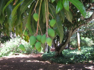 Mangoes were coming in to season. We ate one fresh from a tree. Yum!