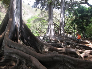 You may recognize these fig trees, which appeared in Jurassic Park (Allerton Gardens, Kauai)