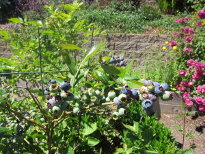 It's a fantastic blueberry year, too!