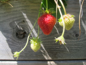 Crazy, bountiful strawberries